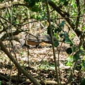 Komodowaran Im Wald