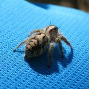 Eine Kleine Spinne Auf Seppel's Schulter
