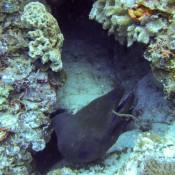 Moräne Und Wobbegong Teilen Sich Eine Höhle