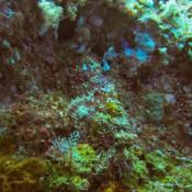 Ein Sehr Gut Getarnter Skorpionfisch