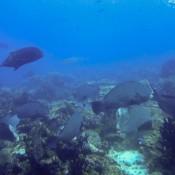 Weissspitzenriffhai Und Büffelkopf Papageienfische