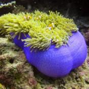 Clownfische In Einer Geschlossenen Anemone