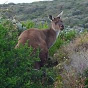 … Noch Ein Känguru