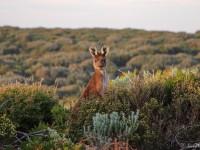 … Und Noch Ein Känguru