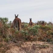 3 Kängurus Flüchten Vor Uns