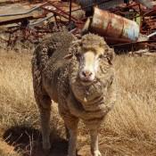 Ein Altes Schaf