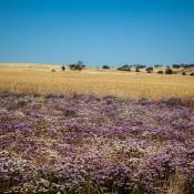 Wildblumen Und Weizenfelder