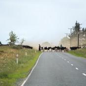 Eine Kuhherde überquert Die Straße