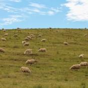 Schafherde, Typisch Für Neuseeland