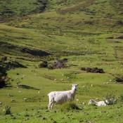 Und Wieder Ein Paar Schafe