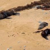 Seerobben Am Bushy Beach