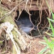 Ein Junger Pinguin Im Nest