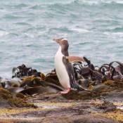 Gelbaugenpinguin An Der Curio Bay