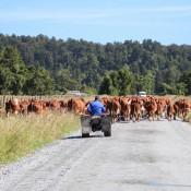 Rinderherde Blockiert Unseren Weg