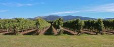 Weinreben bei Renwick (Mit dem Fahrrad durch die Marlborough Weinregion)