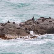 Seerobben Am Ohau Point