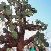 Ein Riesiger Kaktusbaum