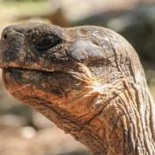 Riesenschildkröte Auf Floreana