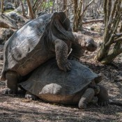 Riesenschildkröten Auf Floreana