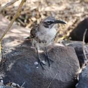 Galápagos Spottdrossel