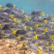 Gelbschwanz Doktorfische Beim Schnorcheln