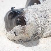 Seelöwen Baby