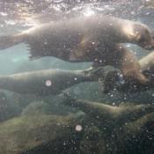 Schnorcheln Mit Seelöwen (isla Lobos)