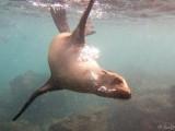Snorkeling with sea lions (Lobos island)