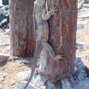 Galapagos Landleguan Klettert Am Kaktus Hoch