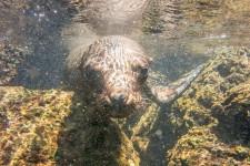 Seelöwe (Galapagos – 2 Wochen im Naturparadies)