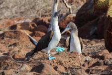 Blaufuß-Tölpel beim Balztanz (Galapagos – 2 Wochen im Naturparadies)