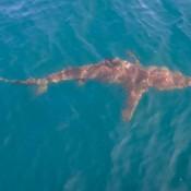 Ein Galapagos Hai Umkreist Unser Schiff