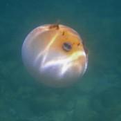 Aufgeblasener Kugelfisch
