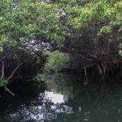 Suche Nach Baby Haien In Den Mangroven
