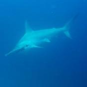 Bogenstirn Hammerhai