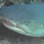Weißspitzen Riffhai