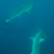 Bogenstirn Hammerhaie Unter Uns