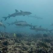 Weißspitzen Riffhaie