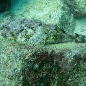 Gut Getarnter Skorpionfisch