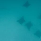 Teufelsrochen Und Bogenstirn Hammerhai