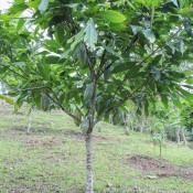 Ein Kakao Baum