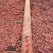 Kakao Bohnen Beim Trocknen