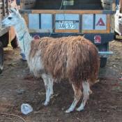 Ein Lama