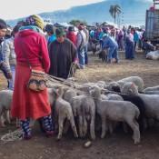 Schafe An Der Leine