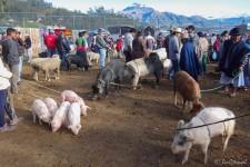Schweinemarkt (Otavalo's Märkte)