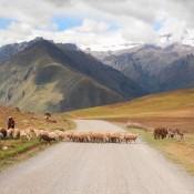 Eine Schafherde Kreuzt Unseren Weg