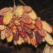 Viele Verschiedene Maissorten