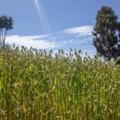 Getreidefelder Auf Der Insel Taquile