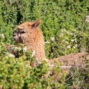 Ein Alpaka Im Gebüsch