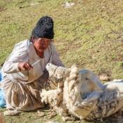 Beim Schafscheren